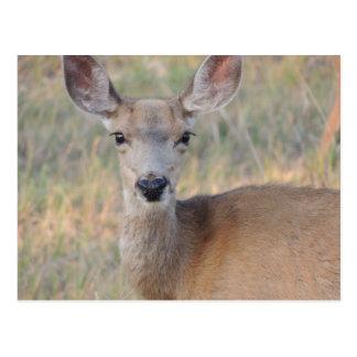 Mule Deer Doe Postcard