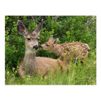 Mule Deer Doe with Fawn 2 Postcard