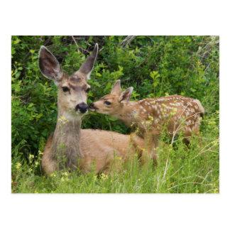 Mule Deer Doe with Fawn 2 Postcard