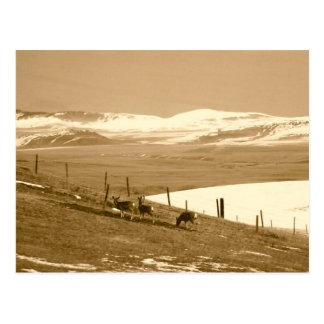 Mule Deer in Alberta Postcard