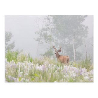 Mule Deer in Foggy Meadow Postcard