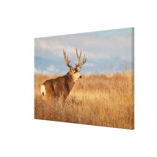 Mule Deer in Winter Grassland Canvas Print