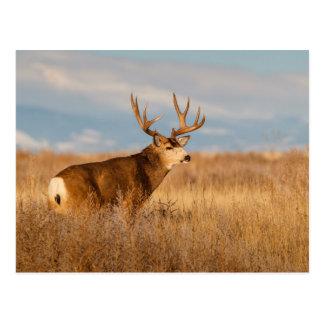 Mule Deer in Winter Grassland Postcard