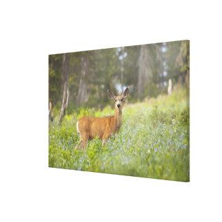 Mule Deer (Odocoileus hemionus) in meadow Canvas Print