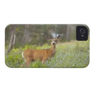 Mule Deer (Odocoileus hemionus) in meadow iPhone 4 Cover