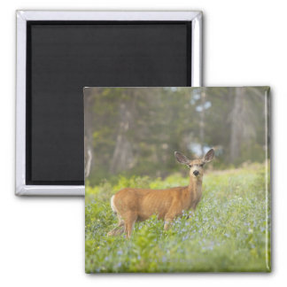 Mule Deer (Odocoileus hemionus) in meadow Magnet