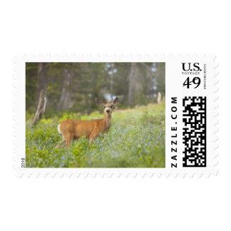 Mule Deer (Odocoileus hemionus) in meadow Postage