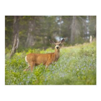 Mule Deer (Odocoileus hemionus) in meadow Postcard