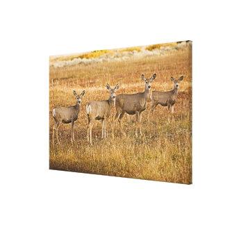Mule deer (Odocoileus hemionus) One on left with Canvas Print
