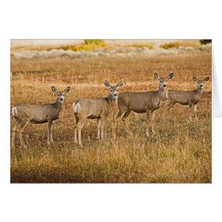 Mule deer (Odocoileus hemionus) One on left with Card