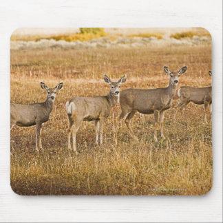 Mule deer (Odocoileus hemionus) One on left with Mouse Pad