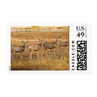 Mule deer (Odocoileus hemionus) One on left with Postage