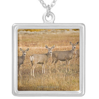 Mule deer (Odocoileus hemionus) One on left with Silver Plated Necklace