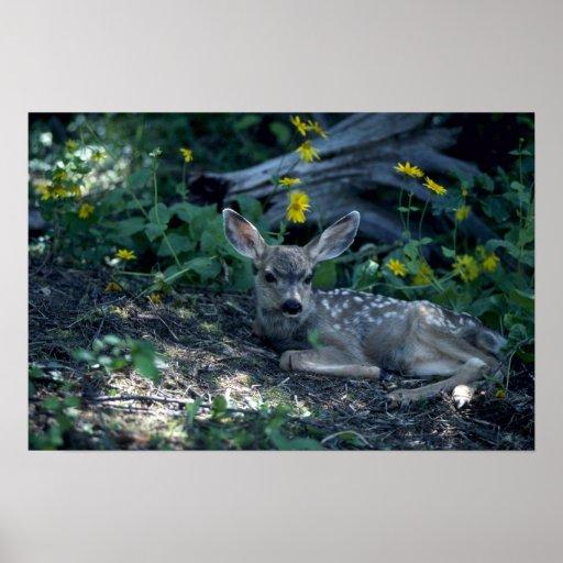 Mule Deer-young fawn in summer meadow Print