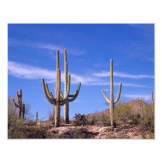Multi armed Giant Saguaro cactus, Saguaro Photograph