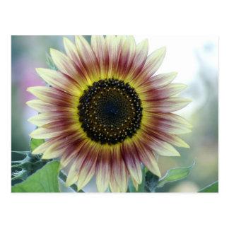 Multi-colored Sunflower Postcard