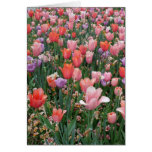Multi Colored Tulips Greeting Card