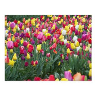 Multi-Colored Tulips in Field Postcard