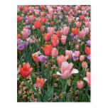Multi Colored Tulips Postcard