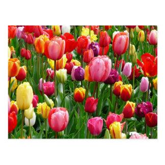 Multi-colored Tulips Postcard