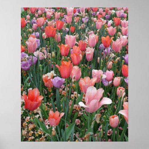 Multi Colored Tulips Print
