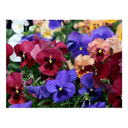 Multicolored Pansies Postcard
