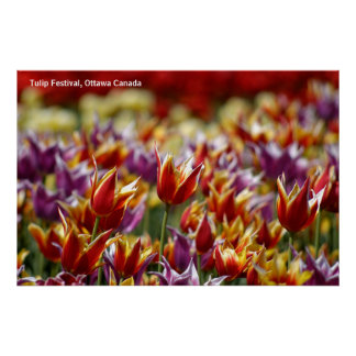 Multicoloured tulips  poster