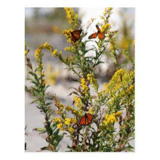 Multiple Monarchs Postcard