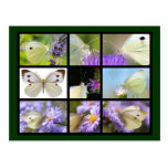 Multiple photos of Large White butterfly Postcards