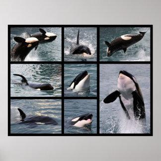 Múltiplo de las fotos de orcas póster
