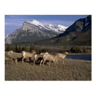 Multitud de las ovejas de cuernos, montañas detrás postales