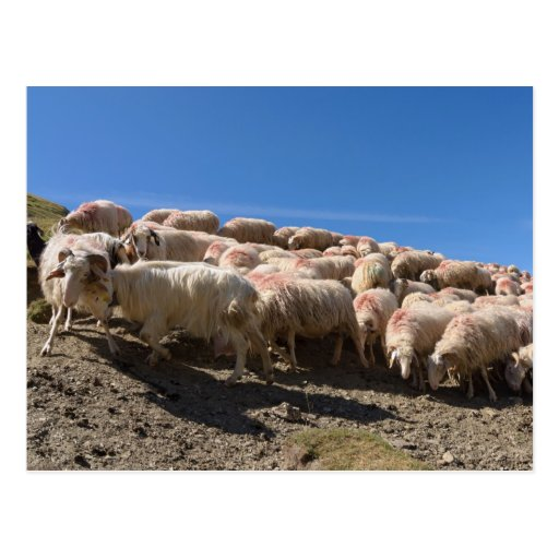Multitud de las ovejas del Bearnaise de Basco en Tarjeta Postal