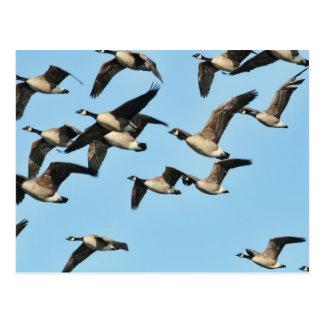 Multitud de los gansos de Canadá en vuelo Postal