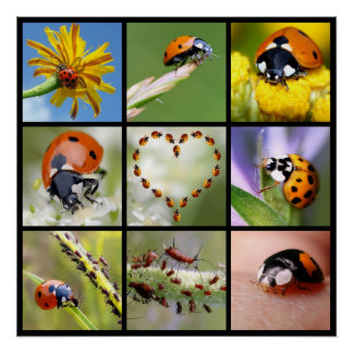 Multitude photos of ladybugs poster