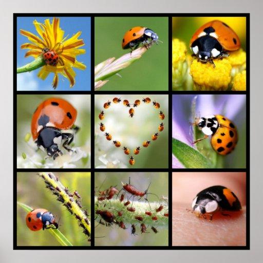 Multitude photos of ladybugs poster