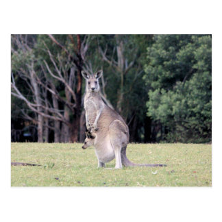 Mum Kangaroo with Baby Joey in Her Pouch Postcard