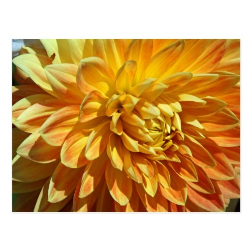 Mums the Word Lush Golden Blossom Postcard
