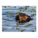 Munching Beaver collection Post Cards