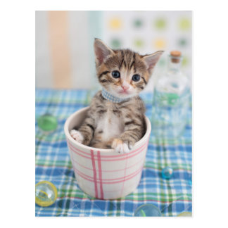 Munchkin Kitten With Pretty Ribbon Postcard
