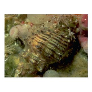 Murex del octágono (octogonus) de Murexsul Shell Tarjetas Postales