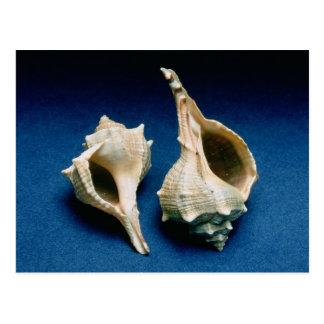 Murex shell postcard