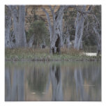Murray River Tree reflections Poster