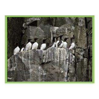 Murres común Castle Rock islas de Shumagin Tarjetas Postales