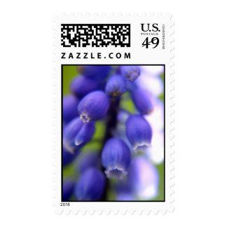 Muscari (Grape hyacinth) Postage Stamp
