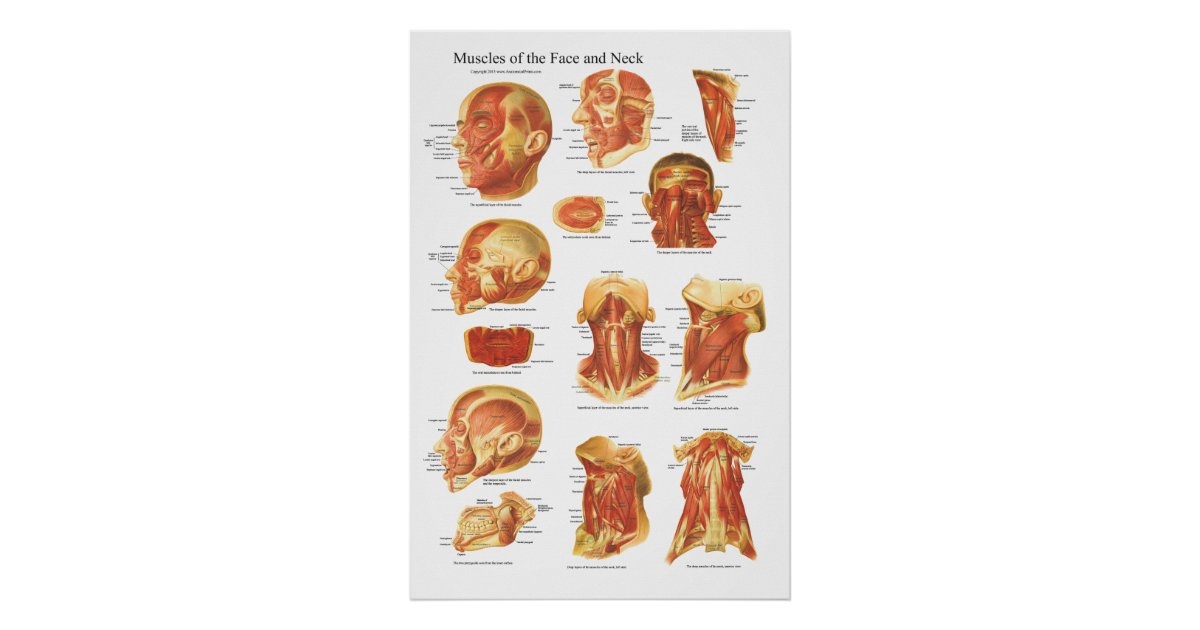 Muscle Anatomy Of The Face And Neck Chart Zazzle