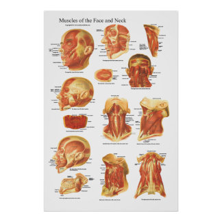 Muscle Anatomy of the Face and Neck Chart Poster