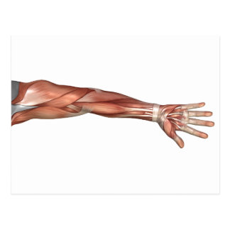 Muscle Anatomy Of The Human Arm, Anterior View Postcard