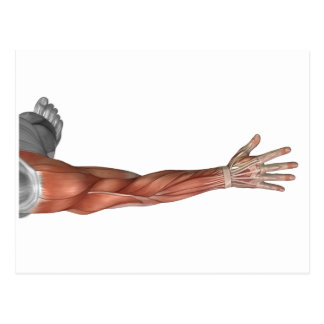 Muscle Anatomy Of The Human Arm, Posterior View Postcard