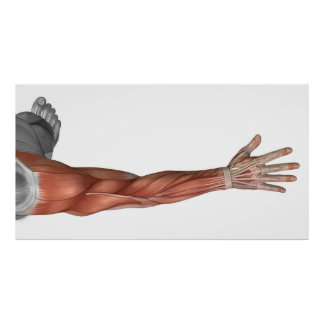 Muscle Anatomy Of The Human Arm, Posterior View Poster
