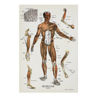 Muscle Anatomy Poster 24 X 36